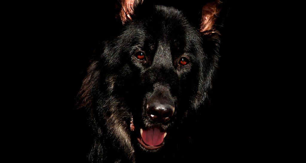 Black Dog German Shepherd